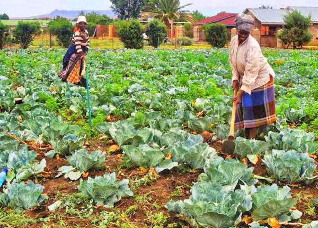 Women tending to the fields of cabbage