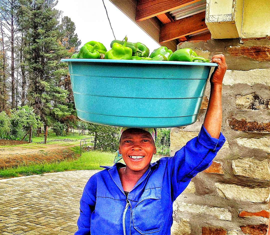 Harvested Green Peppers