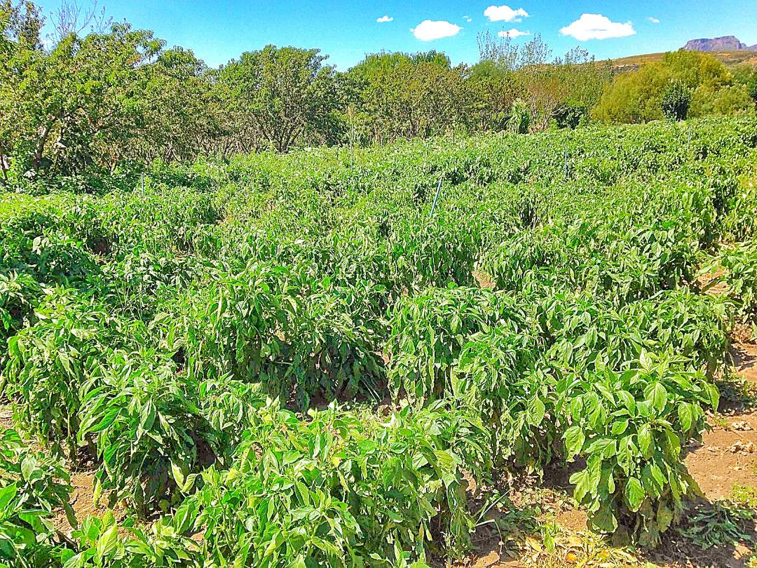 Peppers in the field