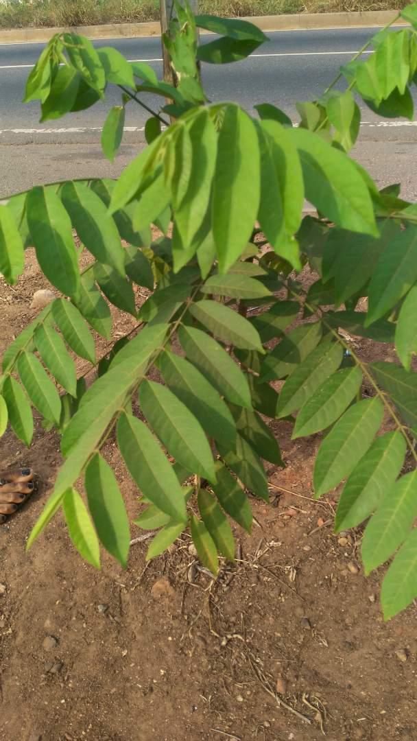 Cedrela tree