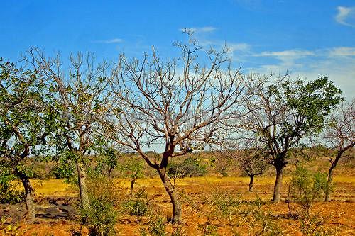 Trees - Mali