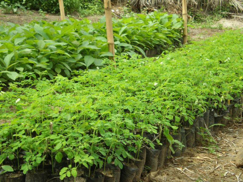 Moringa Seedlings - Togo