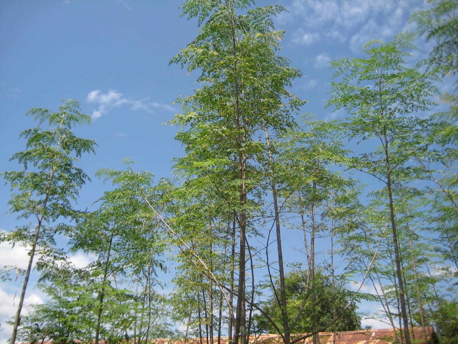 Moringa Trees - Togo
